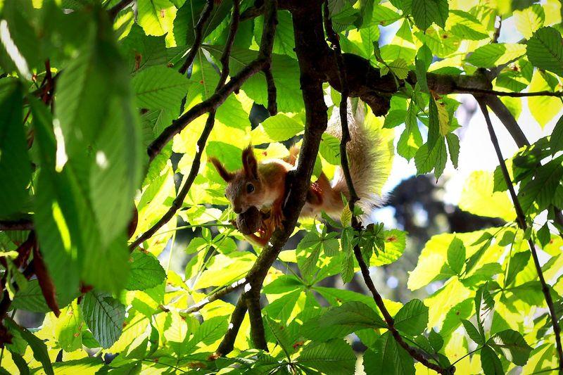 Squirrel Tree