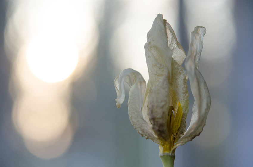 Beauty of d(r)ying flowers Beauty Of D(r)ying Flowers Nature Age Aging Beauty Beauty Beauty In Nature Close-up Day Die Dry Drying Drying Flowers Dying Flower Flower Flower Head Focus On Foreground Fragility Freshness Nature No People Old Plant Sunlight Waterless Wizened