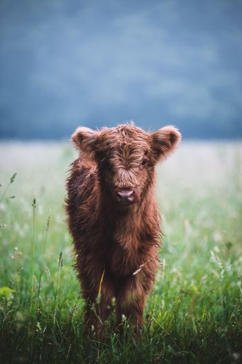 Calf standing on grassy field