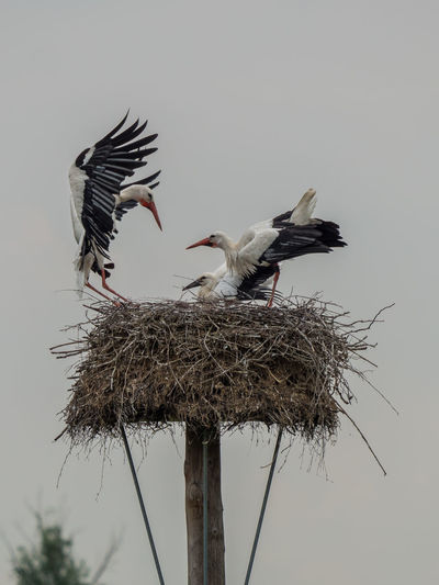 Animals In The Wild Bird Photography Animal Animal Family Animal Nest Animal Themes Animal Wildlife Animals In The Wild Bird Bird Nest Bird Of Prey Birds Birds_collection Day Flying Group Of Animals Nature No People Outdoors Plant Sky Spread Wings Stork Two Animals Vertebrate