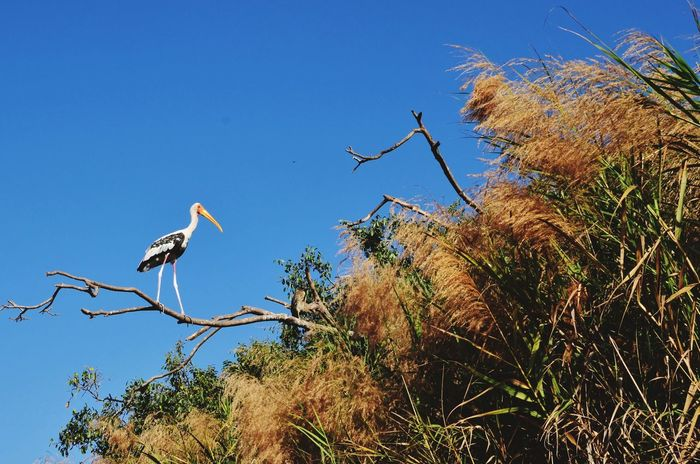 Beautiful painted stork at the Ranganathittu bird sanctuary near Mysore Wildlife Indian Wildlife Majestic Bird Bird Animal Wildlife Animals In The Wild Tree Nature Branch Outdoors Perching Stork Low Angle View Blue Clear Sky Sky Beauty In Nature