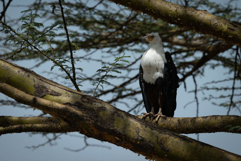 African fish eagle perched on tree branch Africa African African Fish Eagle Haliaeetus Vocifer Klein's Camp Nature Serengeti Tanzania Animal Bird Bird Of Prey Branch Eagle Game Drive Grassland Perch Perched Predator Raptor Safari Savanna Savannah Travel Tree Wildlife Animals In The Wild Animal Wildlife Perching Animal Themes Vertebrate One Animal Plant Focus On Foreground Day No People Low Angle View Outdoors Sky White Color Full Length