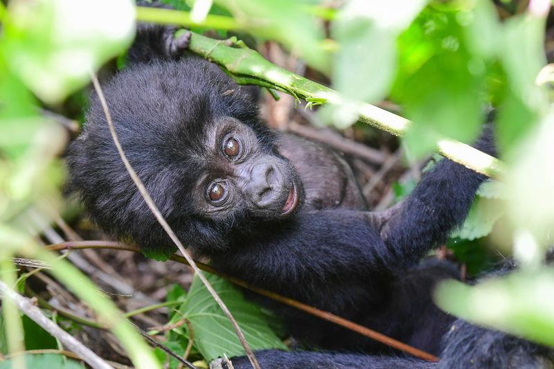 Close-up of gorilla baby
