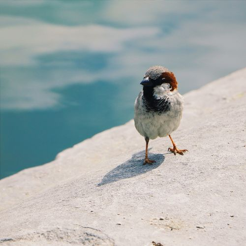 Sparrow Perching On Retaining Wall