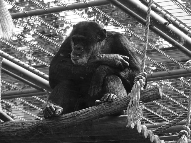 Gorilla Gorillaz Gorrilla Gorilla In Zoo Gorilla Portraits Fine Art PhotographyGorillaface Gorillas