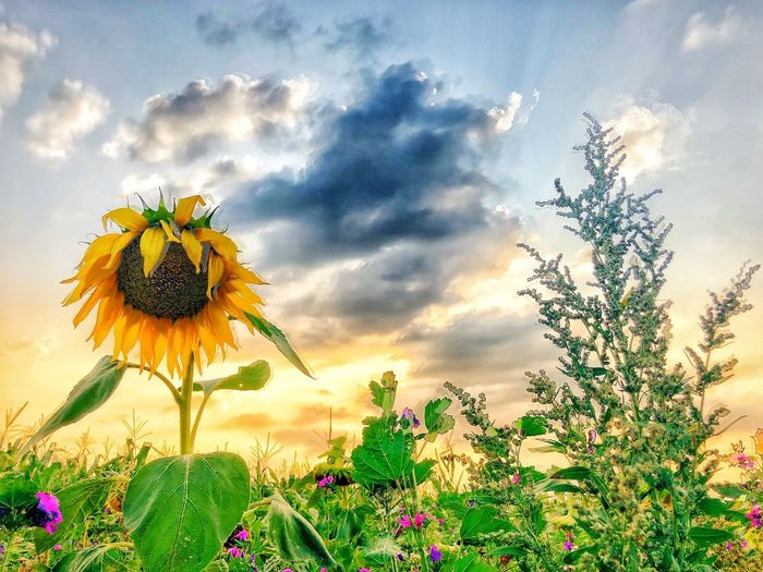 Close-up of sunflower on field against cloudy sky