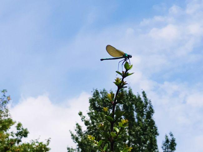 dragonfly Dragonfly Outdoors Garden Tree Sky Cloud - Sky