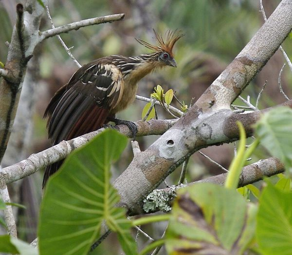hoatzin, Amazon . Animals In The Wild Animal Themes Wildlife Bird One Animal Perching Focus On Foreground Branch Tree Nature Zoology Animals In The Wild Non-urban Scene Birds Of EyeEm  Birds_collection Avian Hoatzin