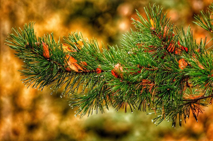 Needle - Plant Part Tree Green Color Christmas Tree Nature Close-up Christmas No People Needle Growth Celebration Fir Tree Outdoors Pine Cone Winter Branch Beauty In Nature Day ThoThaHan Vlr