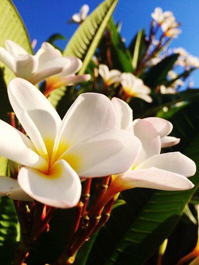 Frangipani Flower in my back yard so bright in the evening Sun