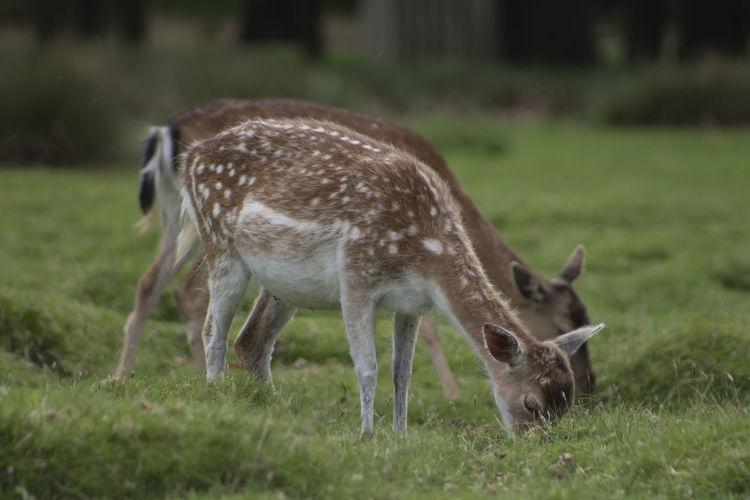 Side view of deer grazing on field