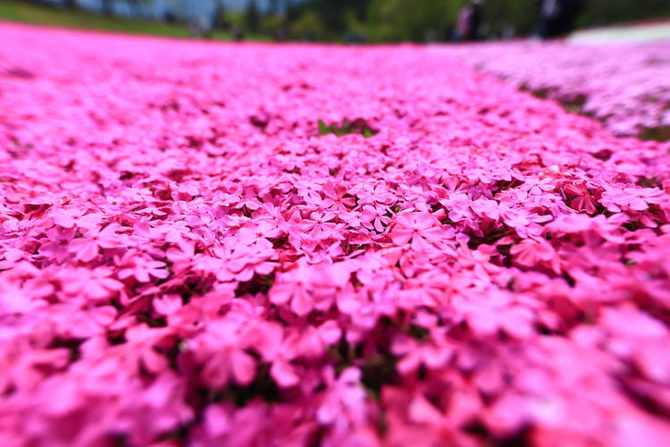 Pink Color Plant Flower Flowering Plant Freshness Nature Selective Focus Beauty In Nature Close-up Vulnerability  Growth Fragility Petal No People Day Land Outdoors Park Springtime Inflorescence Flowerbed Flower Head Purple Surface Level Hello World Tadaa Community Eyem Best Shots
