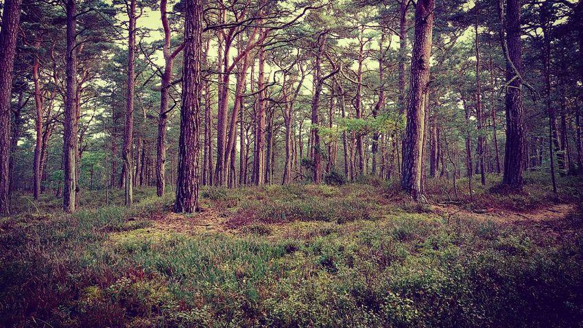 Fairyforest Prerow Ostseeküste Darßer Ort Darß / Baltic Sea Ostsee Germany🇩🇪 Mecklenburg-Vorpommern Fairytales & Dreams Fairyforest Growth Nature Grass Tree Day No People Outdoors Forest Beauty In Nature Landscape