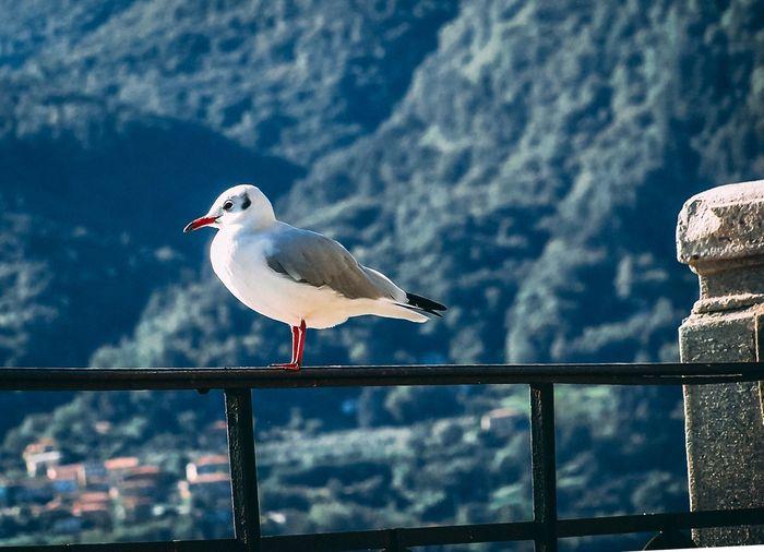 Gull Seagull