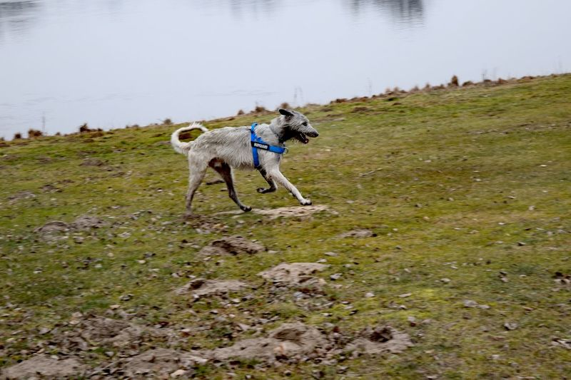 At The River Water_collection Elbe Dog Domestic Animals Animal Themes Outdoors Water Take A Walk In The Park Herrenkrugpark How Is The Weather Today? Winter 2017 February 2017 Cearnaigh Dogslife Dogwalk Irish Wolfhound Dogs Of EyeEm Weather Cold Temperature