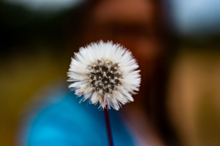 Beauty In Nature Close-up Dandelion Dandelion Seed Flower Flower Head Flowering Plant Focus On Foreground Fragility Freshness Growth Inflorescence Nature No People Outdoors Plant Plant Stem Selective Focus Soft Focus Softness Vulnerability  The Creative - 2018 EyeEm Awards