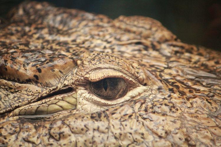 Cropped image of crocodile eye