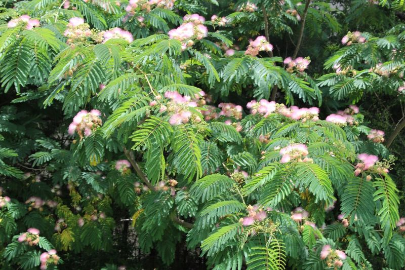 Mimosa tree My Favorite Tree Mimosa Flowers Mimosa Tree Pink Feathery Beauty In Nature Beauty In Nature Tranquility Lush Foliage