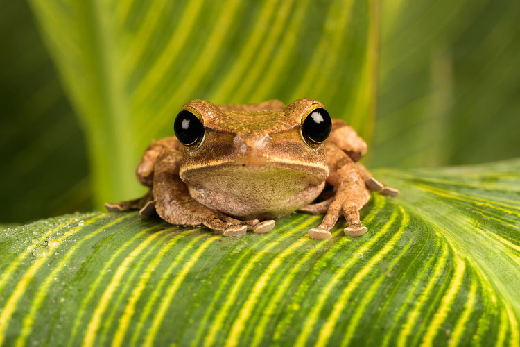 Asian Tree Frog