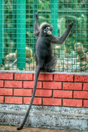 Dusky Leaf Monkey Spectacled Langur Langur MonkeyForest Penang Malaysia Monkey Primate Eyeem Monkeys EyeEm Best Shots Leaf Monkey This monkey is wild...trying to get access to a cage full of protected plants