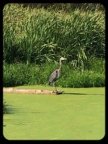 Blue Heron fairly close. Not bad for a phone pic! Walking Around Soaking Up The Sun Hugging A Tree