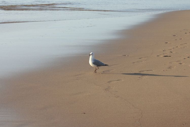 Seagull Animal Themes Animal Wildlife Animals In The Wild Beach Beauty In Nature Bird Day Nature No People One Animal Outdoors Sand Scenics Sea Shore Water
