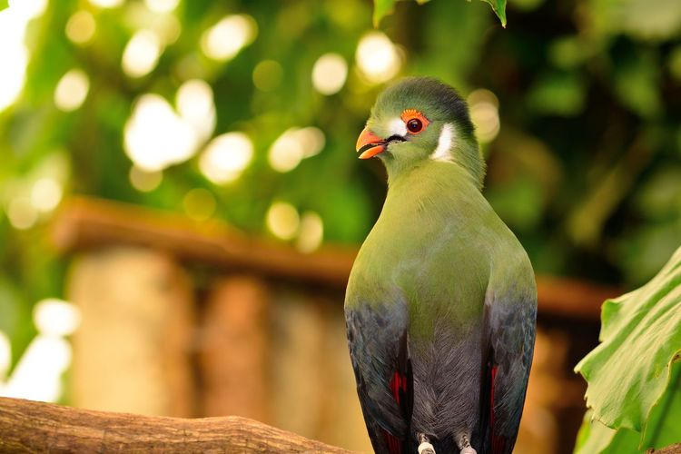 Animals In The Wild Check This Out Colors EyeEm Best Shots EyeEm Nature Lover EyeEm Gallery Green Color Nature Taking Photos Turaco Animal Themes Animal Wildlife Animals Beauty In Nature Bird Close-up Day Eye4photography  Focus On Foreground Nature_collection No People One Animal Outdoors Perching Portrait