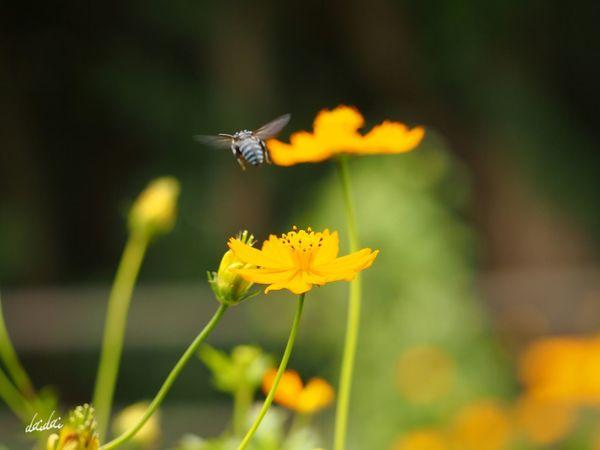 再出発に幸運を E-PL3 Flower キバナコスモス Yellow Bee Blue Bee ルリモンハナバチ 幸せを呼ぶ青い蜂 メリッサ Noedit