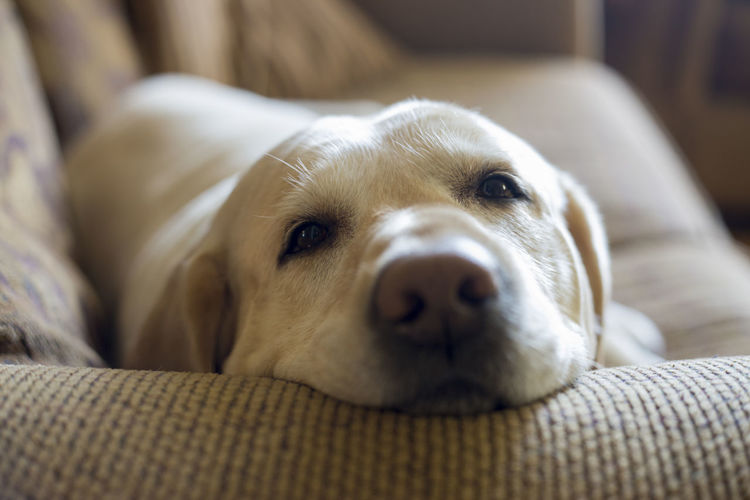 Animal Themes Close-up Day Dog Domestic Animals Home Interior Indoors  Looking At Camera Mammal No People One Animal Pets Portrait Relaxation Sofa Yellow Lab EyeEmNewHere EyeEm Selects Breathing Space