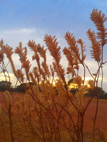 Desert Nature Landscape Growth Plant Arid Climate Outdoors No People Scenics Day Sky Tree Beauty In Nature Close-up Western Australia Android Photography Australian Photographers AndroidPhotography Flowers,Plants & Garden Sommergefühle The Purist (no Edit, No Filter) Flower Collection Australia Australian Outback Red Dust