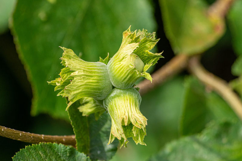 Close-up of green hazel nuts on plant