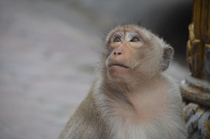 Monkeys Thailand Animal Themes Animal Wildlife Animals In The Wild Close-up Day Emotion Japanese Macaque Look Lopburi Lopburi Thailand Mammal Monkey Nature No People One Animal Outdoors