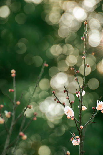 Plum Blossoms Plant Growth Beauty In Nature Freshness Flower Nature Tree Lens Flare Petal Springtime Plum Blossom