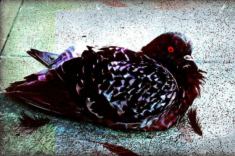 High Angle View No People Bird Close-up Animal Themes Indoors  Day Sidewalk Feathers Mama Bird Crow Beak Red Eye