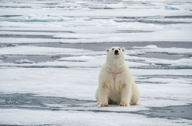 Polar Bear sitting on ice, Svalbard Cold Temperature Snow Animal Themes Animal One Animal Mammal Animals In The Wild Bear Polar Bear Nature Outdoors No People Arctic Svalbard