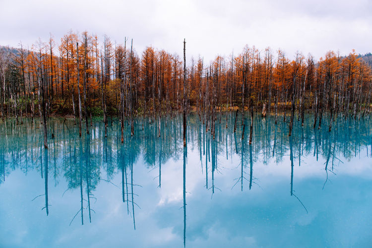 Red Trees Reflected on Blue Pond Tranquility Reflection Outdoors Autumn Non-urban Scene Sky Nature Scenics - Nature Beauty In Nature Lake Water Tranquil Scene Plant Tree Blue Blue Water Blue Pond Blue Pond 青い池 Japan Hokkaido Biei Travel Destinations Travel Trip Copy Space