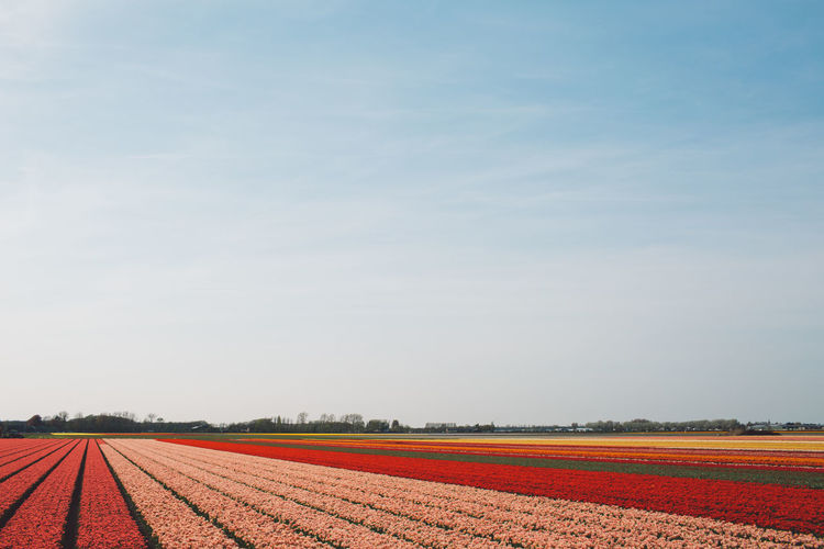 Agriculture Field Flowering Plant Netherlands Tulips Bloom Blooming Flowers Spring Springtime