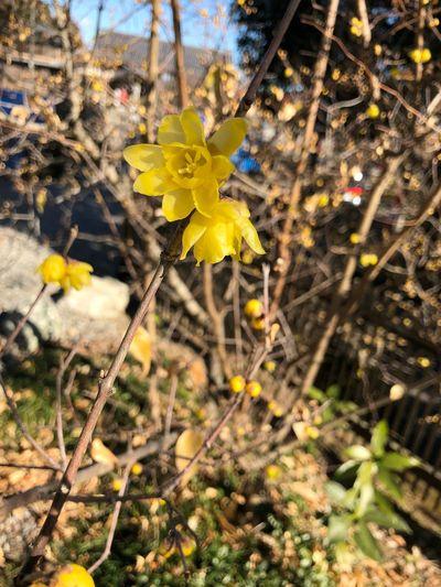 蝋梅 Yellow Flower