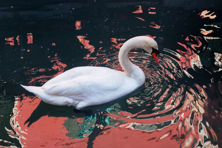 Animal Animal Themes Avian Beauty In Nature Bird Close-up Day Nature No People Outdoors Rippled Swan Water Water Bird White White Color Zoology