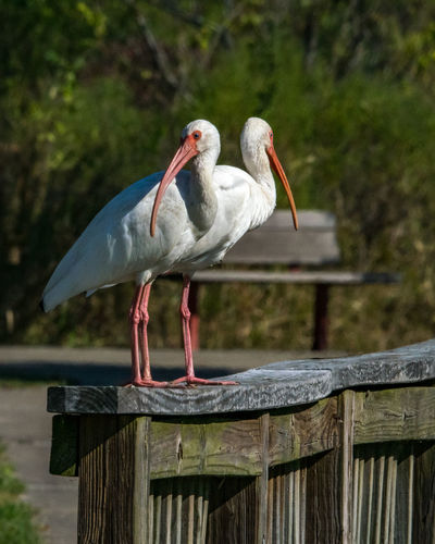 White ibis bookends! Pearland Texas Animal Animal Themes Animal Wildlife Animals In The Wild Beak Bird Day Focus On Foreground Full Length Nature No People Outdoors Perching Railing Vertebrate White Ibis Wood - Material Wooden Post
