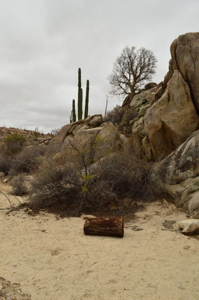 Rumbo a las pinturas rupestres en cataviña Arid Climate Beauty In Nature Cardon Cactus Day Desert Landscape Nature No People Outdoors Rock - Object Sand Scenics Sky Tranquil Scene Tranquility Tree