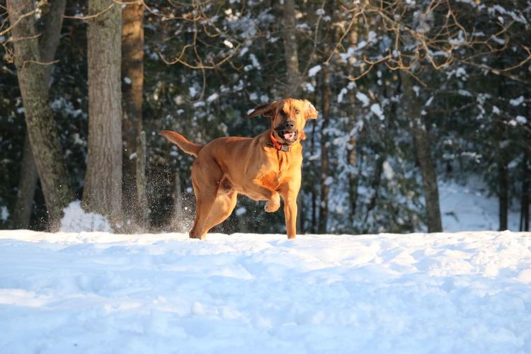 Bloodhound in the Snow Hunting Dog Bloodhound On Point  Dogs Dogs Life Canine Canine Companion Sunlight Sun Hound Canine Photography Dog Photography Dog Play Dogs Playing In The Snow Redbone Retriever Pets Snow Cold Temperature Winter Snowing Cheerful Happiness Dog Full Length Carnivora Shining Purebred Dog Panting EyeEmNewHere