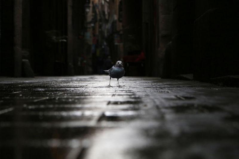 Free blackbird