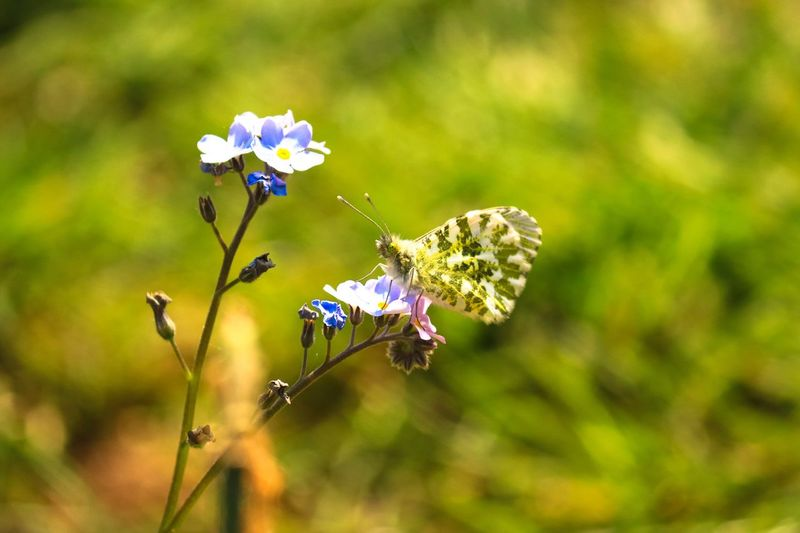 Enjoying the flowers Forget Me Not Flower Butterfly On Flower Female Orange Tip EyeEm Selects Flower Flowering Plant Plant Insect Animal Wildlife Beauty In Nature Fragility Vulnerability  Close-up Focus On Foreground Nature Day No People