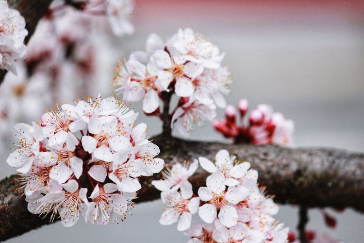 Macro photo of white flowers of blossominng cherry blossom or sakura tree with blooming petals.