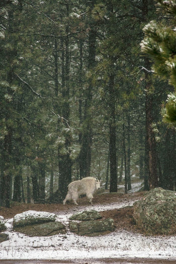 Mountain goat walking on field at forest