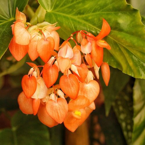 Begonia Flower Orange Color Growth Nature Close-up Beauty In Nature No People Flower Blooming Outdoors Freshness Day