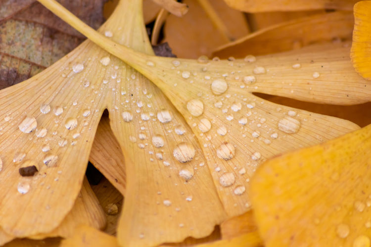 Close-up of raindrops on yellow leaves