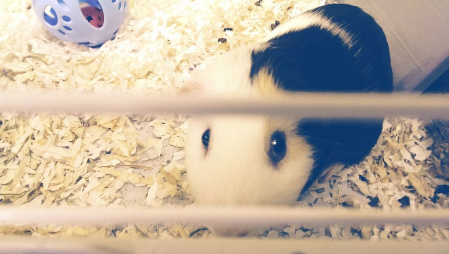 Cute Pet Guinea Pig Animal