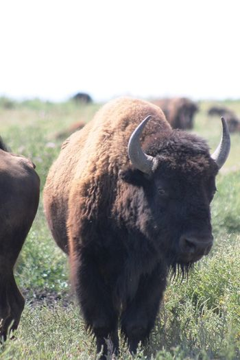 One Animal Bison Bison Herd Colorado Nature USA Animal Themes Day Grass Wildlife